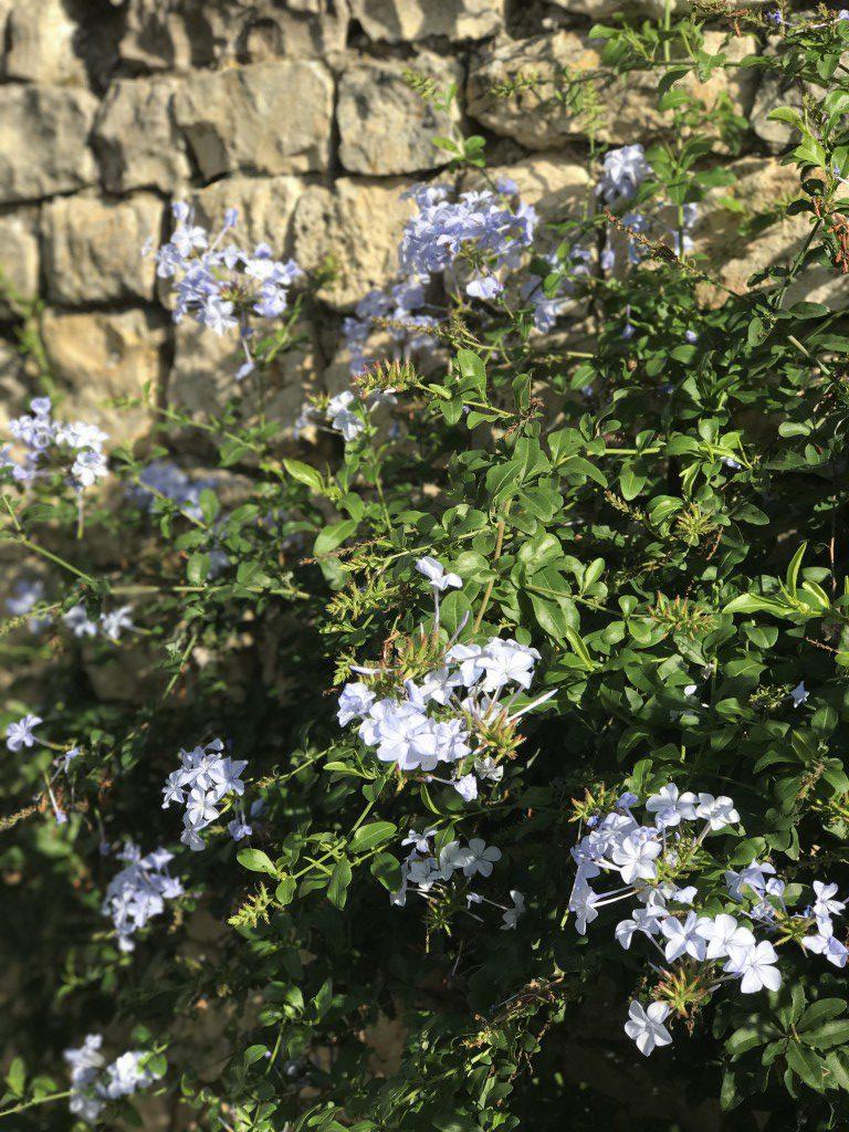 Végétal grimpante bleue mur pierres